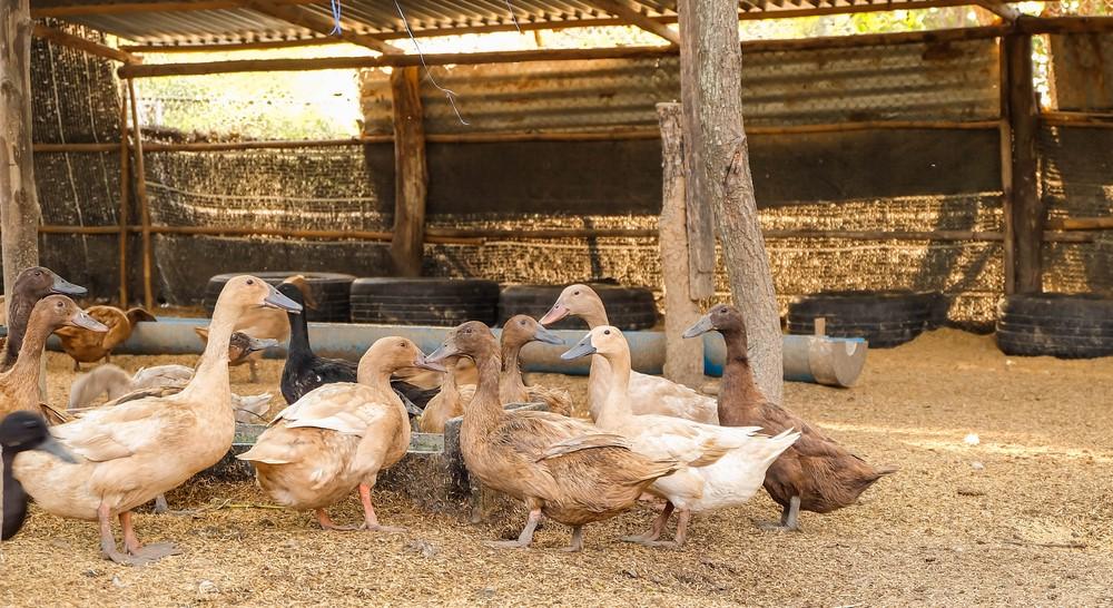 Aviwell : procédé exluant tout gavage des oies